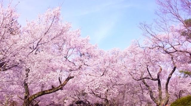桜 のコピー2